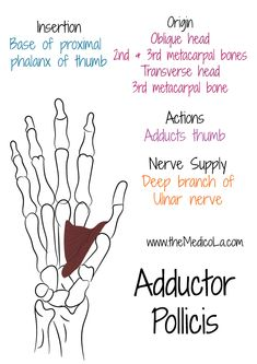 All Upper Limb Muscles Notes & Drawings Muscles Of Upper Limb, Upper Limb Anatomy, Mega Series, Ulnar Nerve, Forearm Muscles, Medicine Notes, Medical Anatomy, Muscle Anatomy, Hand Therapy