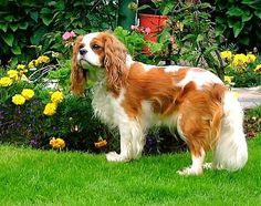 Cavalier King Charles Spaniel. They are members of the toy group. They are great companions. They stand at 12-13 inches at the shoulder and weigh about 13-18 pounds.