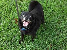 Meet SIERRA, a Petfinder adoptable Pomeranian Dog | Houston, TX | Hi I am Sierra! I am paper trained, get along well with other small dogs and do not like cats. I...