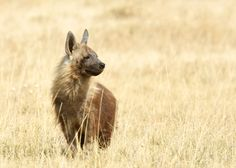 Brown hyena, the second rarest carnivore in the whole of Africa.