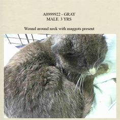 NYC TO BE DESTROYED May 20'14. This Poor guy (have to say luckily) landed here with a neck injury & is being treated!! Does like pets! GRAY. ID #A0999922. Male gray domestic sh mix. The shelter thinks I am about 3 YEARS old.STRAY https://www.facebook.com/media/set/?set=a.793066934044629.1073742307.220724831278845&type=3#!/nycurgentcats/photos/a.793712587313397.1073742308.220724831278845/793712660646723/?type=3&theater