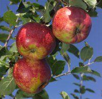 Æbler | Frydenlund Frugtplantage