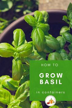Basil is one of the easiest herbs to grow in pots. This articles cover growing basil from seed, growing basil from cuttings, even growing basil from a supermarket plant. Plus there are details on watering, pruning and feeding basil as well as the best place to situate your basil plants for the maximum results! Come on in and read about how to grow basil in pots. #HomeGrown #GrowYourOwn #GrowTheseThings #KitchenGardener #Recipe #HerbGarden Bucket Gardening, Kitchen Gardening, Container Gardening, Gardening Tips, Veg Garden, Fruit Garden, Edible Garden, Growing Herbs At Home, Easy Herbs To Grow