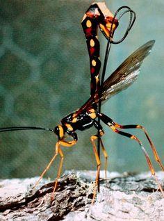 Megarhyssa wasp laying eggs. This giant ichneumon wasp drilled her ...