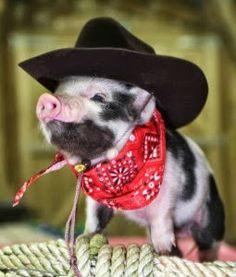 cowboy teacup pig