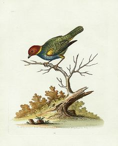 Edwards, George Antique Prints of Birds