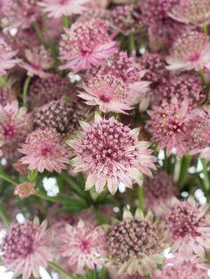 Astrantien (auch Sterndolden genannt) sind zauberhafte Sommerblumen. Die filigranen Blüten der Sorte Roma öffnen sich in einem zarten Altrosa. Jeder Stiel trägt dank üppiger Verzweigung mehrere Blüten, wodurch auch ein wiesenblumenartiger Charme entsteht. …