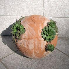 Veliko vas sprašuje, kako prezimiti okrogle skalnjake. Netreski so precej trdožive rastline, najbolje prezimijo zunaj pod napuščem. Ne m...