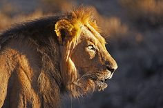 Old male Lion in the Kgalagadi Transfrontier Park, Kalahari Desert, South Africa: Photographed by Shane Saunders  (Cape Town, RSA)