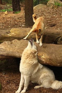 Great Zoo Moment between unlikely den friends Dante the Maremma and Maliki the Dingo at Healesville Sanctuary. Thanks for the entry Danielle F!