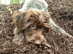 German Wirehaired Pointer Pup ~ Class Look