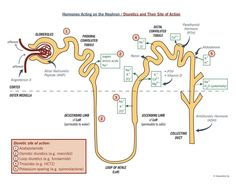 Hornones acting on the nephron/diuretics and their site of action