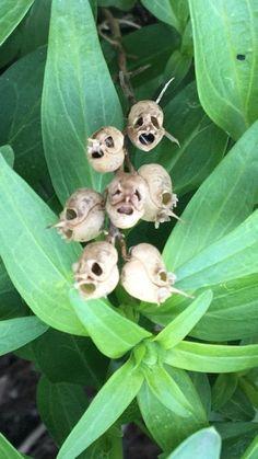 """Husks of dead flowers in my garden. Look like skulls/plague masks."""