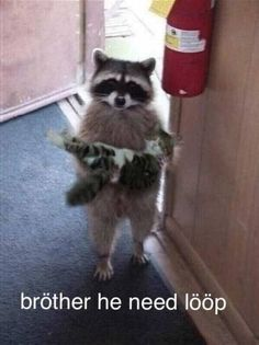 & we stay today?& A raccoon might want to say. The post & we stay today?& A raccoon might want to say. appeared first on Animals. Animal Jokes, Funny Animal Memes, Funny Animal Pictures, Cute Funny Animals, Cute Baby Animals, Cat Memes, Funny Cute, Animals And Pets, Cute Cats