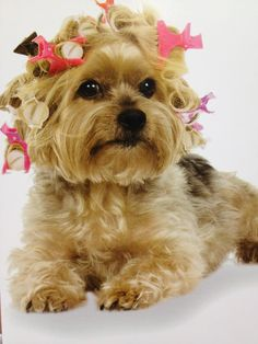dog in pink hair rollers, she is adorable,Tiny Teacup Morkie Puppy yorkie,