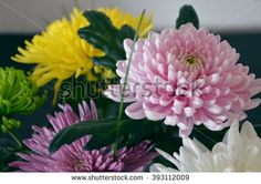A set of Chrysanthemums - stock photo