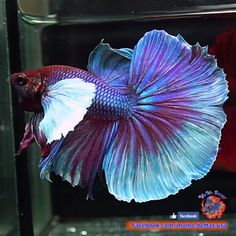 Live-Betta-Fish-Male-Purple-Dumbo-Big-Ears-Halfmoon-HM-1463