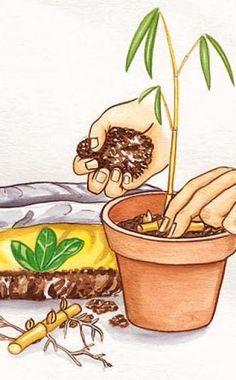 Bambus vermehren -  Viele Bambus-Arten bilden reichlich Ausläufer. Aus Teilstücken dieser Triebe lassen sich ganz leicht neue Pflanzen ziehen. Wir zeigen Ihnen wie's geht.