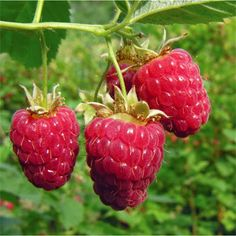 HOW TO GROW RASPBERRIES |The Garden of Eaden