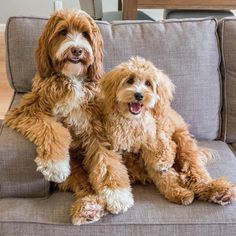'When you're watching a Sitcom and there is a good one-liner' - Reagan & Lincoln, Australian Labradoodle Dogs watching the TV