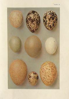 Hey, I found this really awesome Etsy listing at https://www.etsy.com/listing/198958967/original-vintage-egg-print-ornithology
