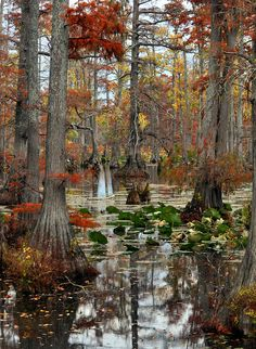 ✯ Swamp In Fall I love the beauty of swamps! ;-)