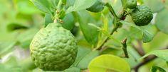 Bergamotte - Die Bergamotte ist auch unter dem Namen Citrus bergamia bekannt. Es handelt sich hierbei um eine Zitrusfrucht. Die Bergamotte ist eine Kreuzung der Bitterorange und der Zitronatzitrone. Die Pflanze kann bis zu drei Meter groß werden. Die Blüten haben eine weiße Farbe. Die Frucht ist so groß wie eine Apfelsine, während die Form der einer Zitrone entspricht. Im reifen Zustand hat sie das Gelb der Zitrone. Die ungenießbare Frucht wird in Italien angebaut... #bergamotte #duftnote