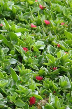 Anteriormente conocido como Aptenia cordifolia  es una  especie  de  planta suculenta  en la  familia de las Aizoáceas ( Aizoaceae ) . Nomb... Succulent Seeds, Succulents, Terraces, Dragon Ball, Flowers, Tips, Petunia Plant, Gardens, Cactus Plants