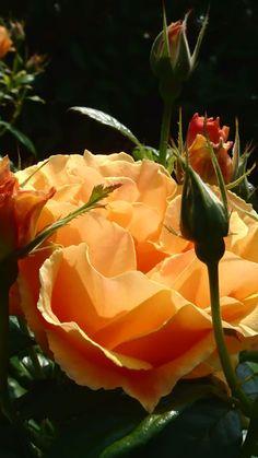 : *🌹 Rosas 🌹 *: - Comunidade - Google+
