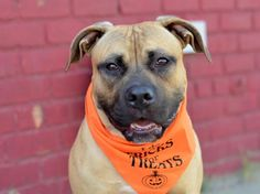 """""""@NYCACC: 11/6 ARRIVAL ALERT! A1015364 - JOSH AM PIT BULL TER MIX, 1 yr RETURN email adoptions@nycacc.org """""""