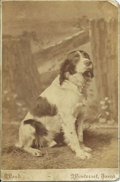 c.1880s cabinet card of spaniel sitting in front of photographer's painted backdrop. Photo by Ward, Winterset, Iowa. From bendale collection