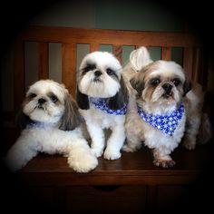 Bo, Lola and Murphy #shihtzu #dogboarding #petboarding