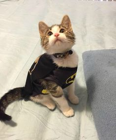 Batman Cat Costume http://catcostumes.org/batman-cat-costume/