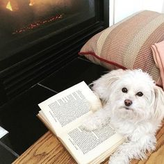 Mr. Chilly would love to go on a getaway with his favorite humans! Please vote for him on kimptonhotels.com/promos/Kimpton-pet-contest2016 #kimptonpetpic16 #stuffedanimaldog #morkiesofinstagram #love #dog #puppy #fireplace #studious