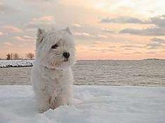 """West Highland Terrier Dog """"Westie"""""""