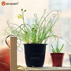 Barato 50 pçs/saco Egeria sementes de grama Da Mola Albuca namaquensis Chinês Ornamental Bonsai Sementes Da Planta Decorativa DIY Interessante em Bonsia de Home & Garden no AliExpress.com | Alibaba Group