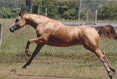 Driftwood Traveller - Australian Stock Horse