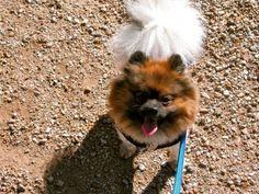 Pomeranian Rescue - Tonks