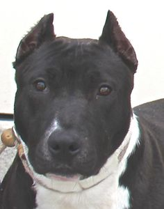Meet Olivia 02-26-2013-2 a Petfinder adoptable American Staffordshire Terrier Dog | Yonkers, NY | Olivia is a laid back girl,who was shy for a long while...Now,she has come out of her shell and...