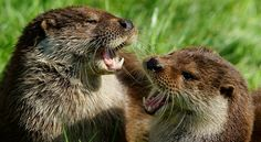 Otter Duet - Probably singing a rock song. It is their favorite kind of music....of course.