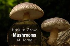 How To Grow Gourmet Mushrooms At Home / @Mommypotamus / http://www.mommypotamus.com/how-to-grow-gourmet-mushrooms-at-home-video/