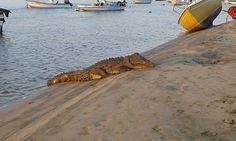 Con 4 acciones Minae trabajará situación de cocodrilos