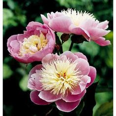 Peony Roots Perennial Resistant White Flower Fluffy Wedding Refined Bonsai Plant