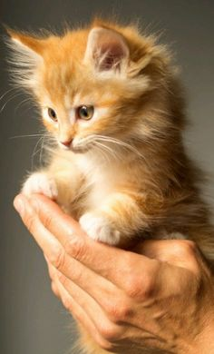 Cute Animals - Tabby Kitten - by Skitterphoto