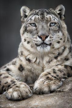 Snow Leopard   Flickr - Photo Sharing!