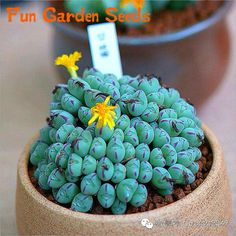 Semillas De Flores ga 100 lithops Seed Succulents Stone Cactus Seeds Stems Tetragonia Potted Flowers Fleshy plants garden gift . #>=#>=#>=#>=#> Click on the pin to check out discount price, color, size, shipping, etc. Save and like it!