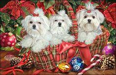 christmas card with maltese dogs | cards maltese maltese deck the halls id code maltese deck