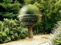 Australian Grass Tree - I need something else in there to provide context, how big is this thing? Soo cool is that a real palm tree? Trees And Shrubs, Trees To Plant, Agaves, Weird Trees, Unique Trees, Trees Beautiful, Nature Tree, Tree Forest, Tree Art