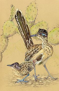 Adult roadrunner and youngster in the Sonoran Desert - Painting Art by Pat Latas - Nature Art & Wildlife Art - natural history illustration, paleontology, botany - Latas Art Watercolor Bird, Watercolor Animals, Bird Pictures, Pictures To Paint, Bird Drawings, Animal Drawings, Road Runner Bird, Desert Animals, Desert Art