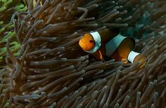 False Clownfish and Magnificent Anemone of the coast of Phuket, Thailand Phuket Travel, Thailand Travel Guide, Bangkok Travel, Visit Thailand, Phuket Thailand, Best Beaches In Phuket, Species Of Sharks, Koh Lipe, Best Rooftop Bars